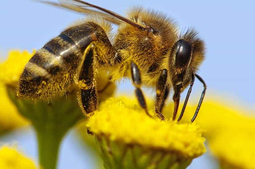 Apitoxin ist ein Derivat des Bienengiftes