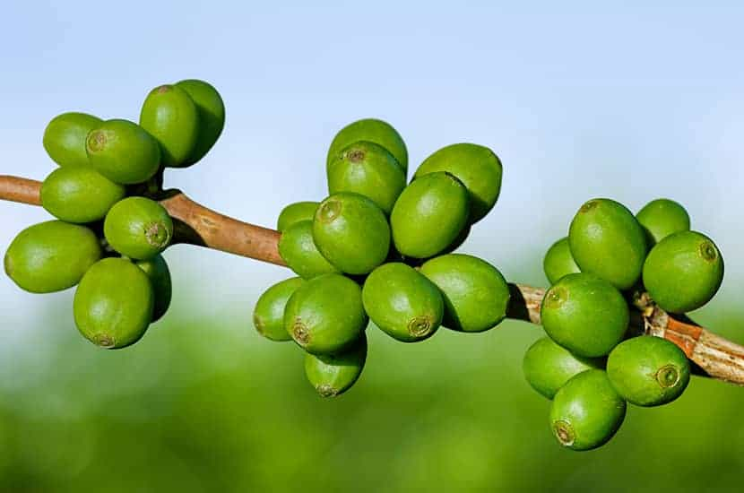 Grüner Kaffee wirkt direkt auf den Fettstoffwechsel.