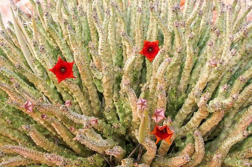 Diese sukkulente Pflanze kann Ihnen helfen, Ihren Appetit zu kontrollieren