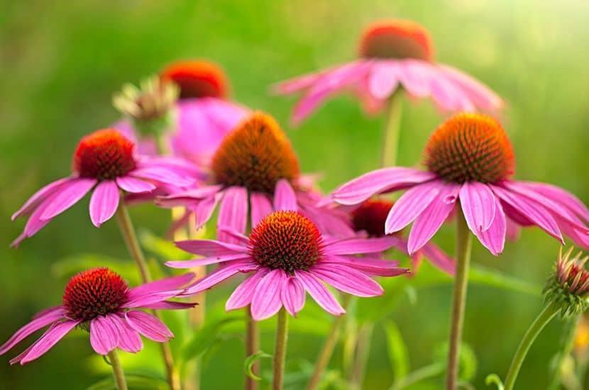 Echinacea ist eine Pflanze mit hohem entzündungshemmenden Potenzial