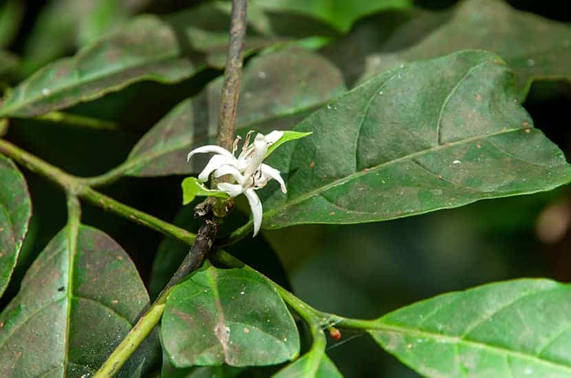 In der traditionellen Medizin ist bekannt, dass diese Pflanze Libido und Penisgröße erhöht