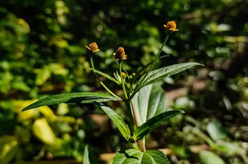 Diese Pflanze ist in der Lage, die Freisetzung von Stickstoffmonoxid in die Blutgefäße des Penis zu stimulieren