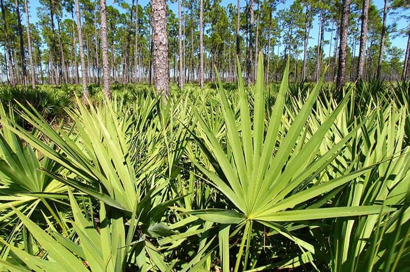 Sabal-Palme hat starke entzündungshemmende Wirkung