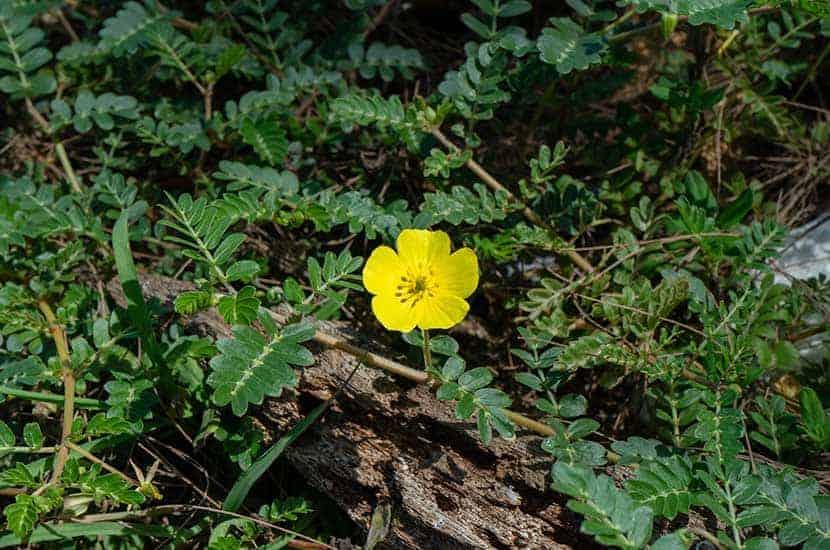 Auch als Klette bekannt, kann diese kriechende Pflanze zur Steigerung der Libido beitragen