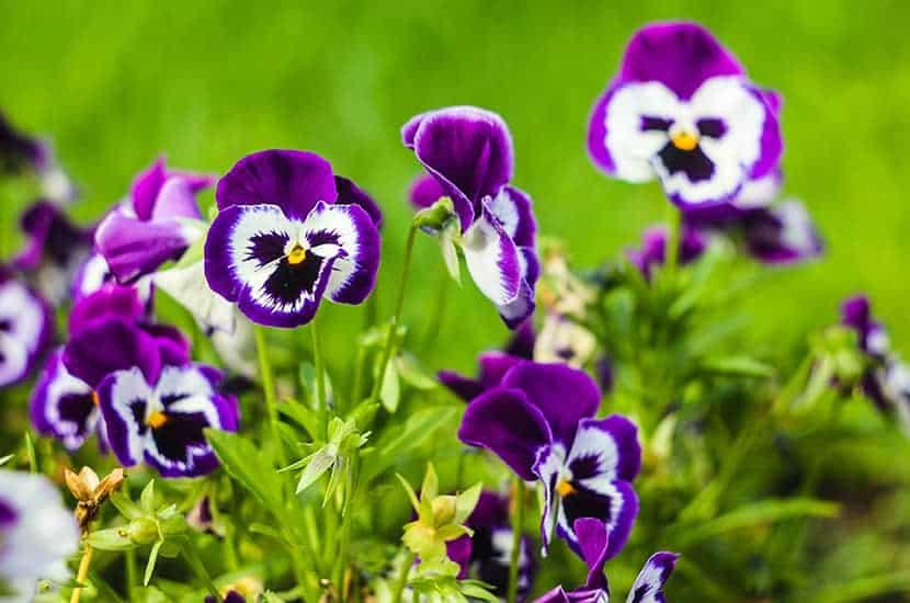 Wild Thought ist eine Pflanze mit entzündungshemmender Wirkung
